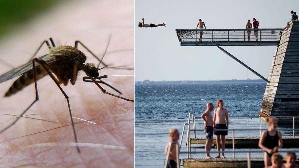 En mygga och sommarbad i Malmö.