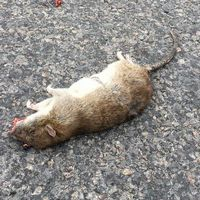 Död råtta i Johannedal utanför Sundsvall.