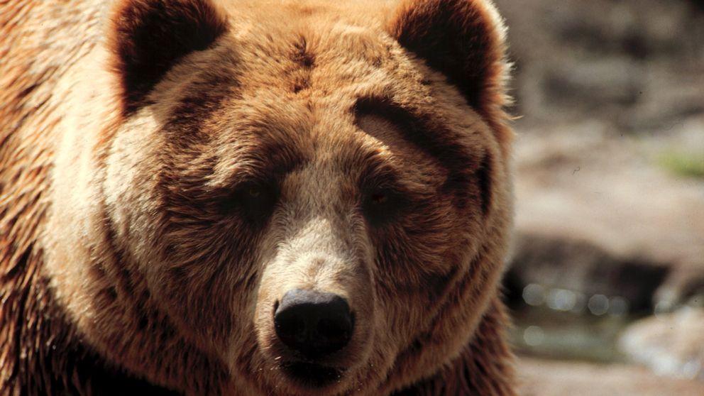 En björn som tittar in i kameran.