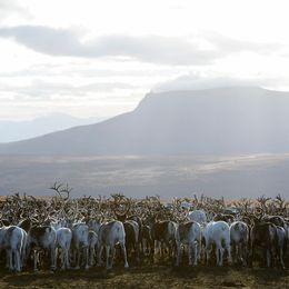 En stor hjord med renar.