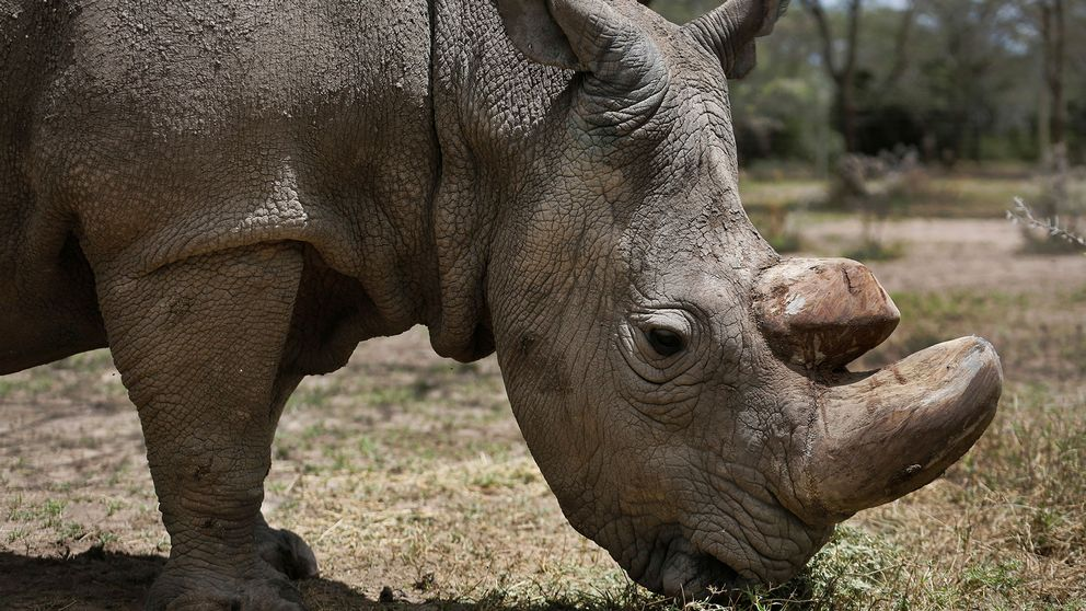 Vit nordlig noshörning äter gräs.