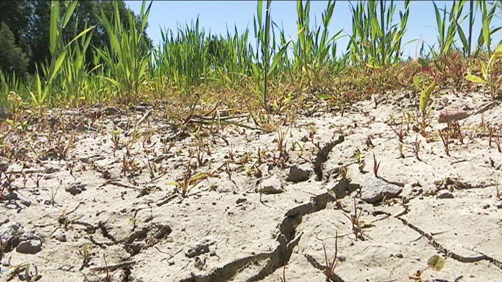 En närbild på torra sprickor i jorden på en åker. I bakgrunden syns gröna växter.