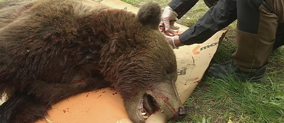 Besiktning av björn