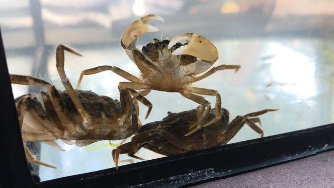 Ny krabba kan ha fatt faste pa vastkusten