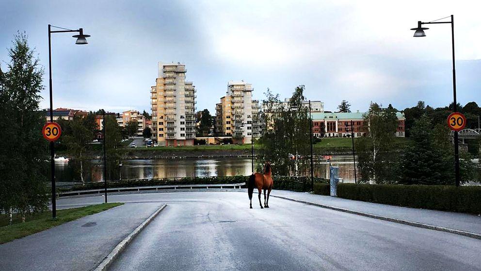 Hästen Majken promenerade runt i centrala Umeå under natten mot fredagen.