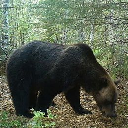 en björn vid åtel, och en grafik-karta