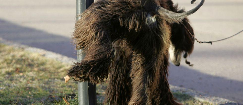 En afghanhund kissar på en lyktstolpe.