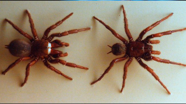Efter naturkatastroferna – nu varnas Australiens befolkning för spindlar