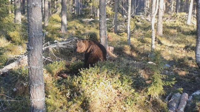 Jonas fångade yrvaken björn på film