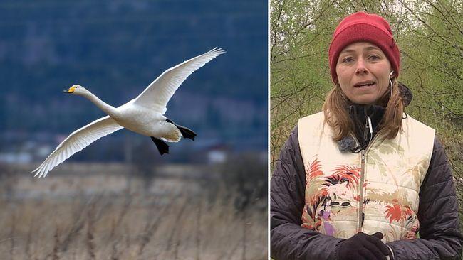 Sveriges Radio i Växjö gör maratonsändning med fågelsång
