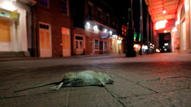 Efter coronapandemin – kannibalråttor i USA