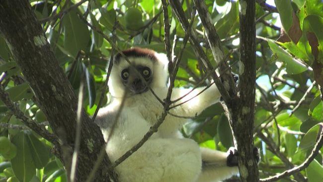 Ny rapport: Lemuren nära utrotning
