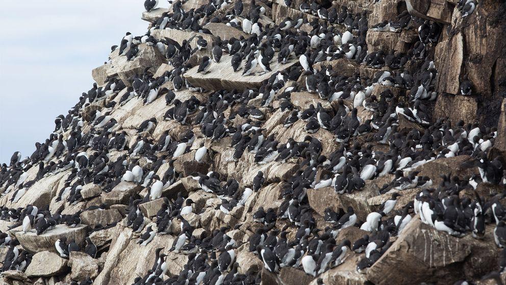 Sillgrisslorna häckar längs hela klippväggen.