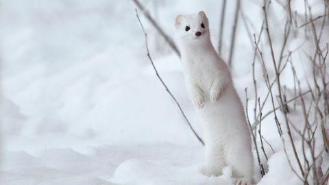 Karin Thorell har lyckats fånga en hermelin som busar i snön.