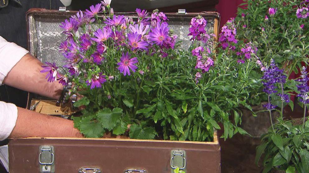 Händer som planterar lila blommor i en gammal resväska.