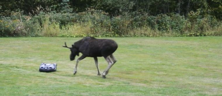 Älgen är först lite rädd för den märkliga apparaten på gräsmattan.