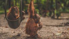 Orangutangungar.