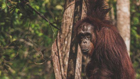 Orangutang.