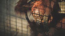 På centret får orangutangerna gå igenom flera steg innan de är mogna att klara sig själva, sedan släpps de ut.