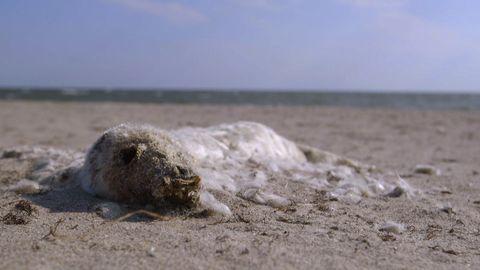 Död säl i sanden.