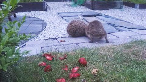 Igelkottarna slåss om jordgubbarna.