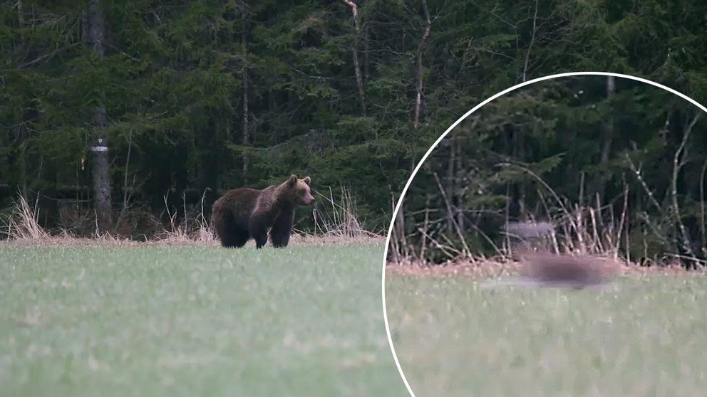 björn på äng, utsnitt på suddig springande hare
