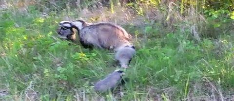En grävlingshona med tre ungar.