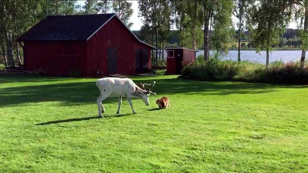 En ren och en katt nos mot nos på en gräsmatta.