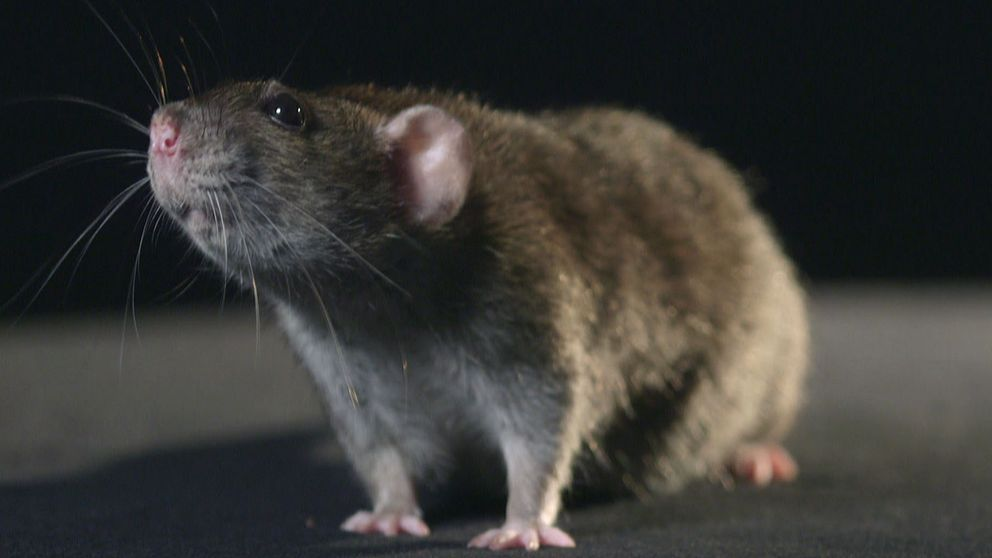 Närbild på en råtta.