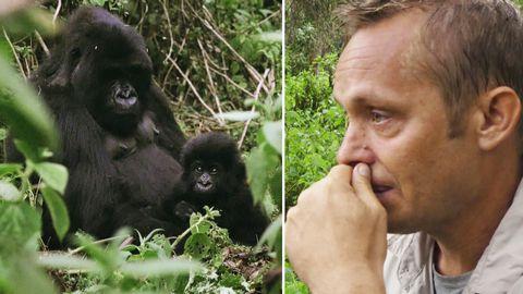 Joakim Odelbergs tårfyllda möte med Rwandas bergsgorillor.