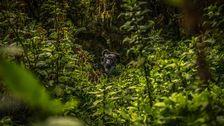 Gorillafamilj i buskagen.