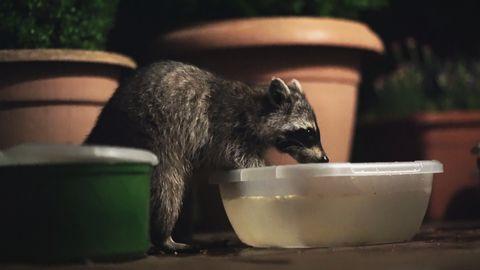 En tvättbjörn har hittat mat vid en bostad i Tyskland.