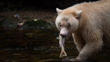 Vit svartbjörn i Canada.