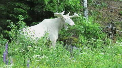 Vit älg i skogarna kring Värmland.