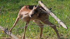 En dovhjort har fastnat med hornen i ett gammalt stängsel och försöker desperat komma loss.