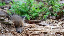En nyfödd räv gömde sig i en stock mitt på en stig strax söder om Nynäshamn.