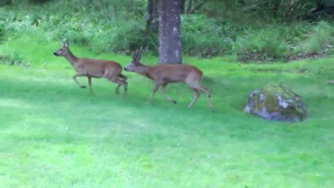 Rådjur i parningslek på en gräsmatta i Värmdö.