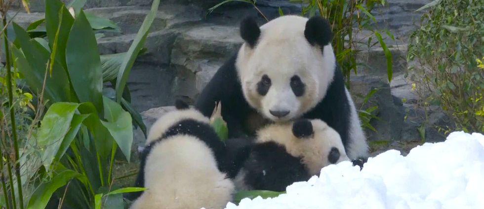 Pandor i snö