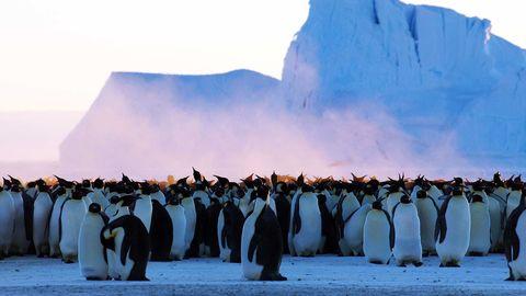 Hundratals pingviner står i klunga. Bakom dem ett stort isberg.