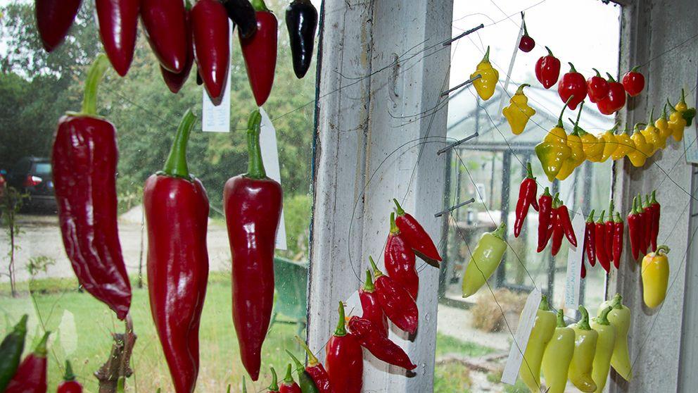 Chili som hänger på tork.