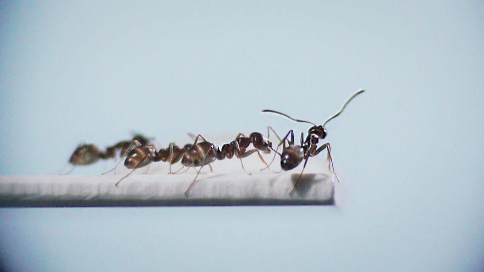 Vetenskapens värld – sommar. Insekter med superkrafter. Myror.