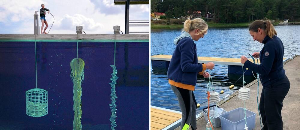 En tecknad bild på en person som hissar upp en korg med ostron från en brygga och en bild på två forskare vid Tjärnö marina laboratorium som förbered utrustning att sänka ner vid sin havskolonilott.
