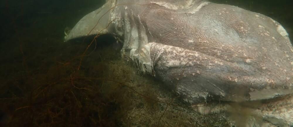 En grå död haj under vattenytan.