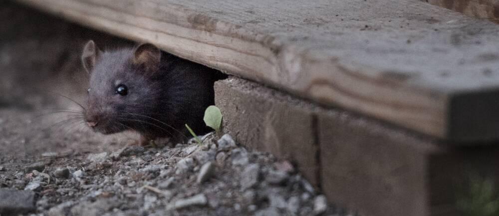 En brun råtta kikar fram under en trätrall.