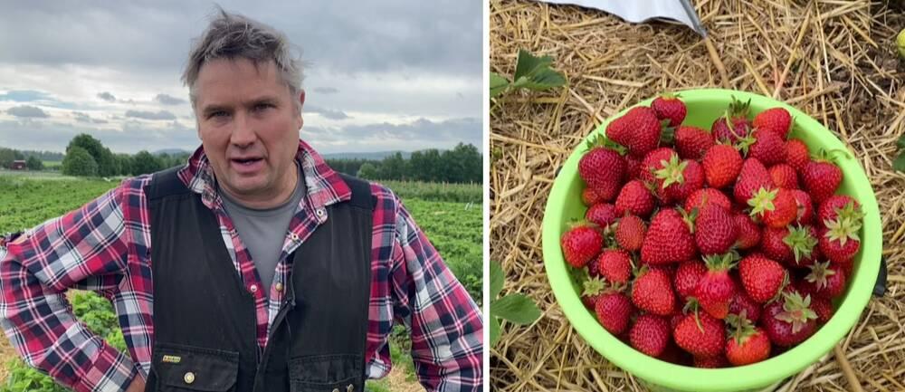en man i rutig skjorta och arbetsväst på en jordgubbsåker, samt närbild på en hink med jordgubbar