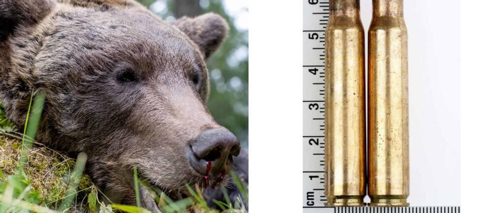 En björn som ligger död mot en sten och två par hylsor.