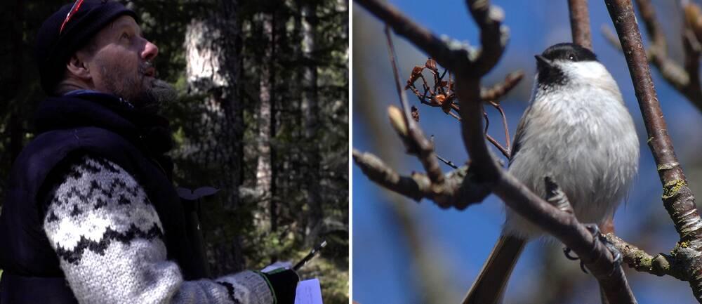Foto på ekolog i skogen och ett foto på en talltita.