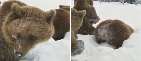 tre brunbjörnar leker i snön