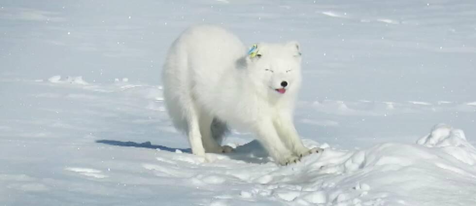 Nyvaken? Det ser så ut i alla fall. Här ser ni den nyfikna fjällräven som kom upp ur snön för att betrakta länsstyrelsens naturbevakare.