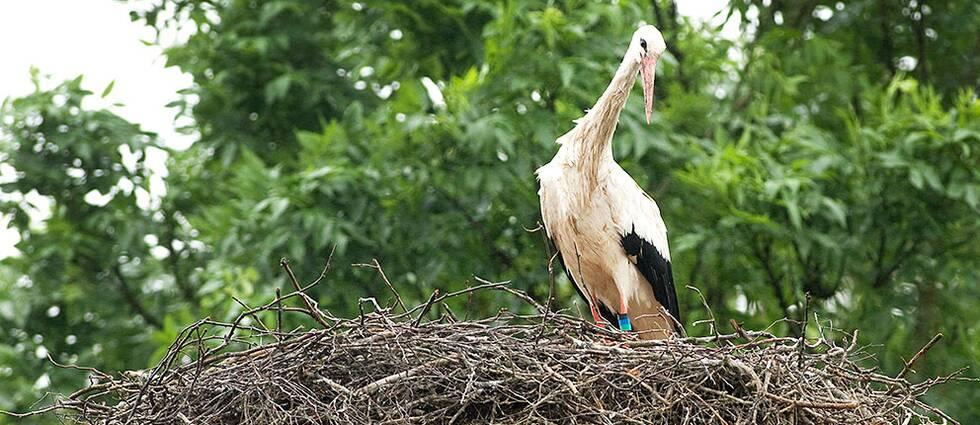 Stork i ett bo